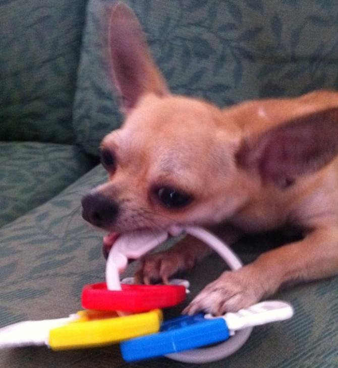 Tuttavia è Un Cane Freddoloso: U201cIl Mio Veterinario Mi Ha Rimproverata  Perché Non Avevo Comprato Al Mio Chihuahua Una Mantellina E Si Era  Raffreddato, ...