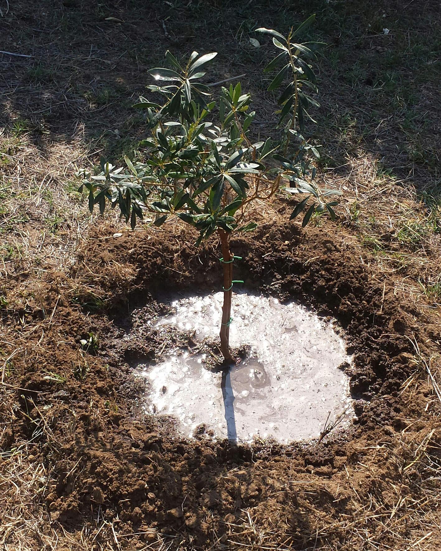 ulivo piantato in ricordo di borsellino (2)