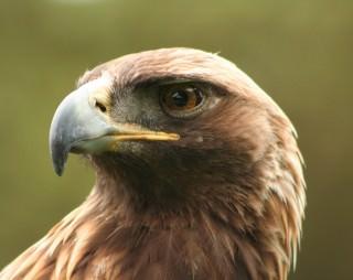 Aquila (1)
