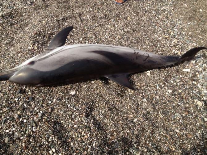 Delfino spiaggiato Letojanni