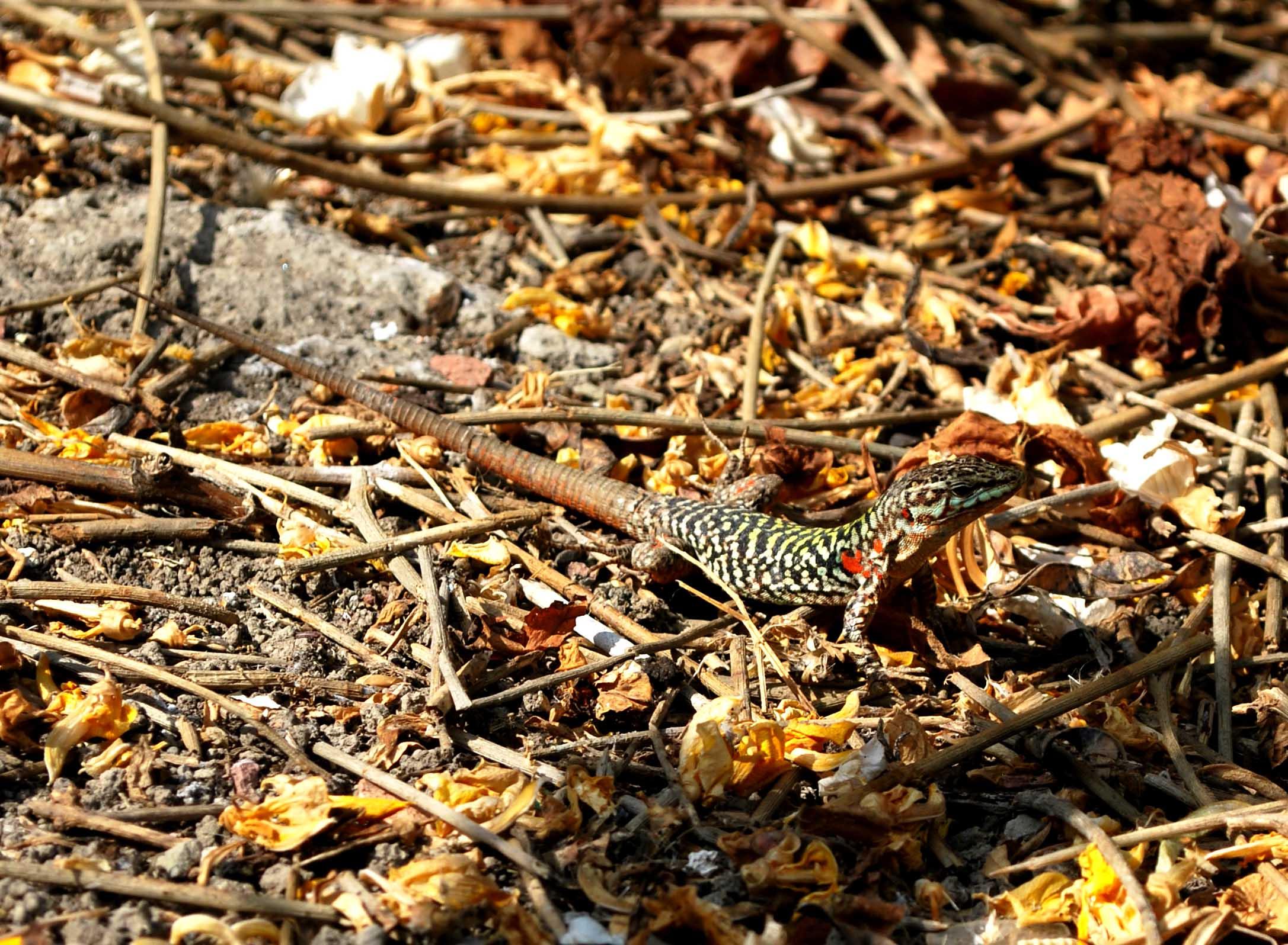 La lucertola Podarcis Sicula Ciclopica