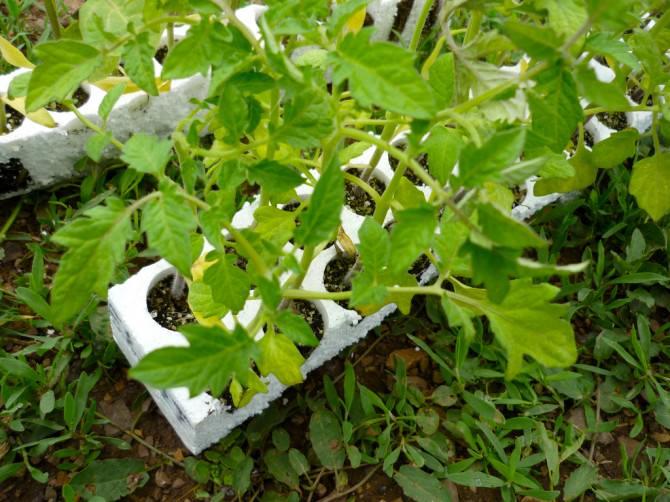 Piantine di pomodoro