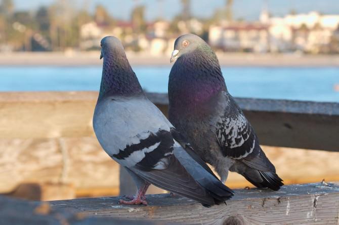 piccioni colombe