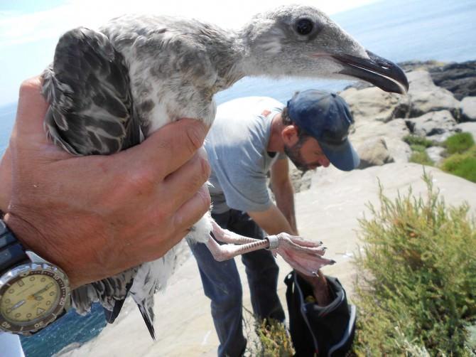 Aci Trezza Isola Lachea inanellamento avifauna (1)
