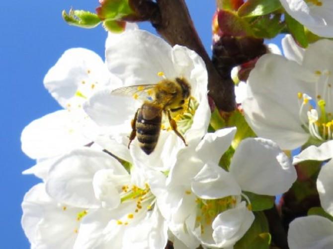 ape raccoglie miele