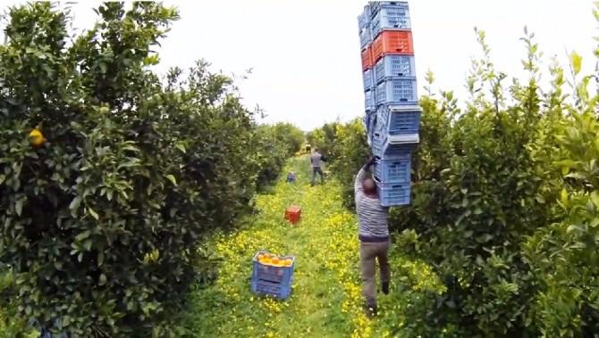 1 Video Agrumi, operai impegnati nella raccolta