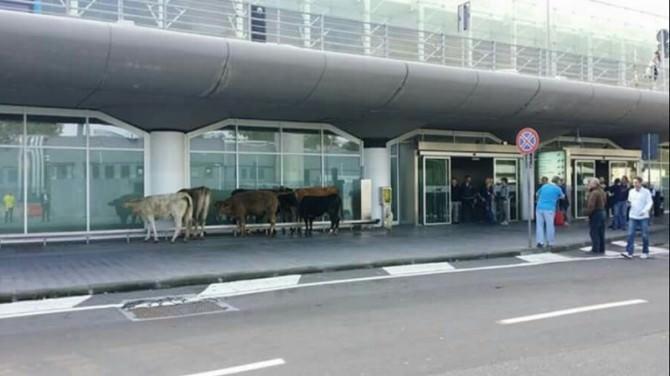 Mucche all'aeroporto di Catania (3)