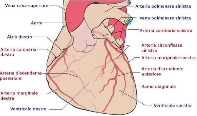 Coronary_arteries-it