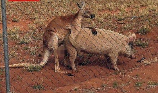 maiala-canguro-sesso