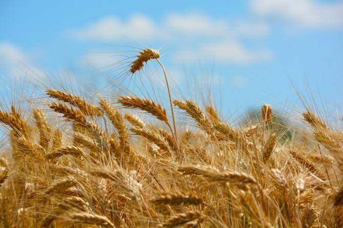 guerra del grano