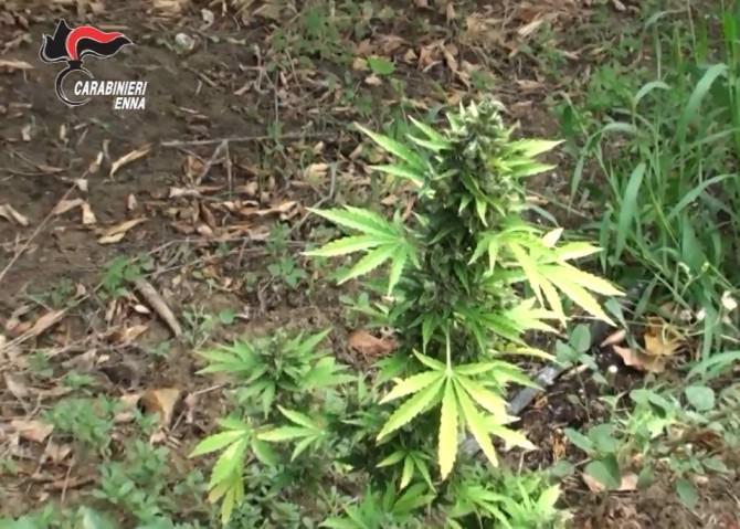Piante di cannabis e lavorazione in roulotte per circa 64 mila euro: coniugi catanesi in manette