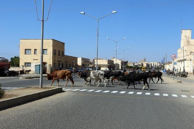 bovini strada bovino mucca