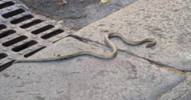 Citt invasa dai serpenti residenti esasperati newsicilia for Biscia nera