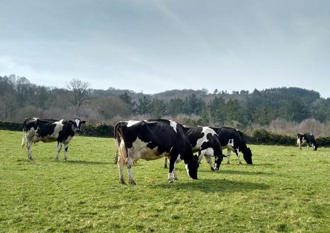 cows-668821_960_720