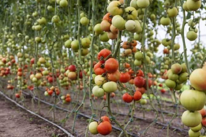 coltivazione-pomodori
