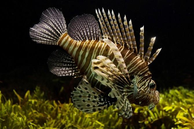pesce-scoprione