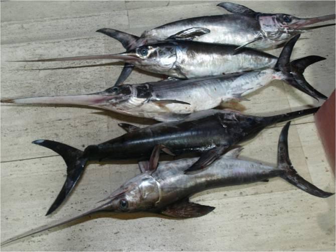 sequestro-pesce-spada-13-08-2013