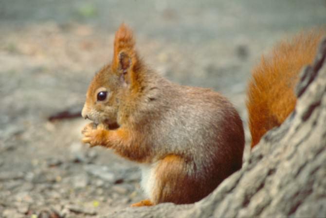 scoiattolo-rosso