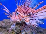 pesce-scorpione_th_1217
