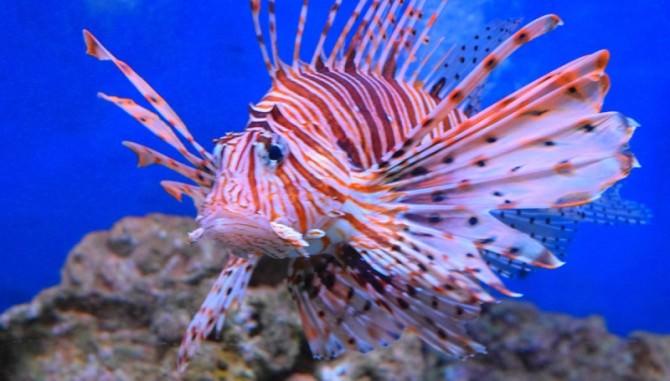 Il pericoloso pesce scorpione avvistato per la prima volta in Italia