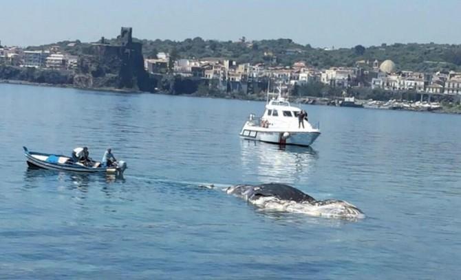 Trovata una balena spiaggiata ad Aci Trezza, intervenuta la Capitaneria di Porto. le FOTO