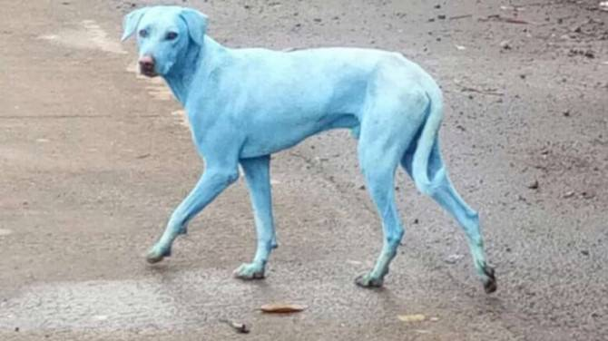 In India cani blu a causa dell'inquinamento