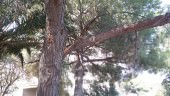 """Via Badia, ramo d'albero cede e cade in strada. Consigliere Nauta: """"Amministrazione si adoperi per evitare futuri disastri"""""""
